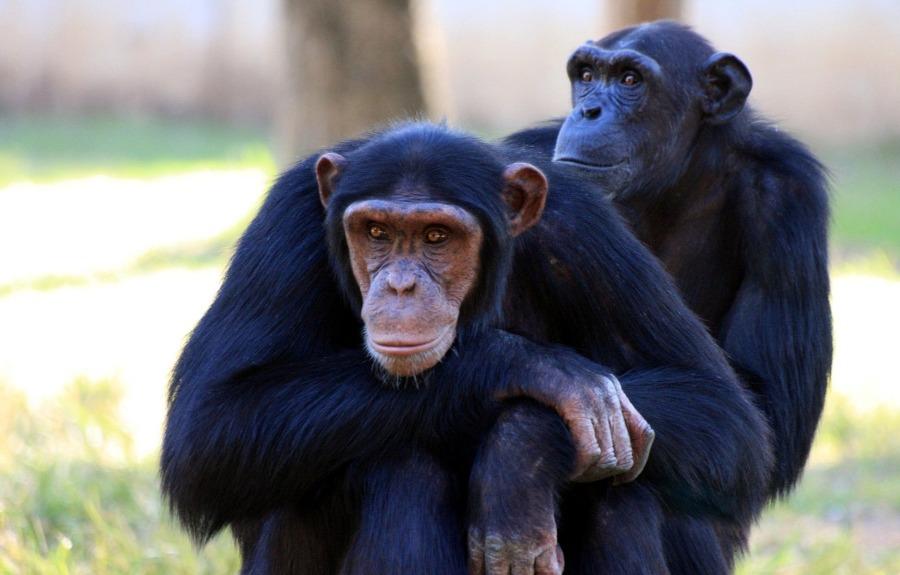 chimpanzee-88994_1920.jpg
